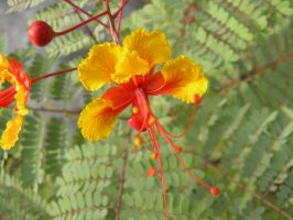 delicate Mexican bird of paradise by bwall49