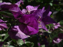 Flower 2 Bougainvillea by 030Marii