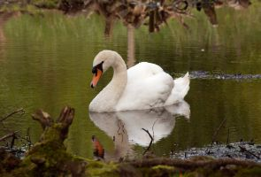 Private Swan by PenguinPhotography