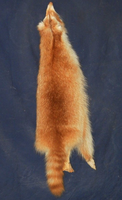 Cinnamon Raccoon by TabbyFoxTaxidermy