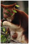 Tree Kangaroo with baby by TVD-Photography