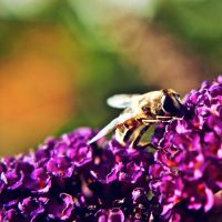 Bee by NanaPHOTOGRAPHY