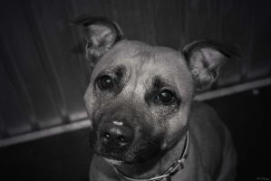 Pixie the staffy by MessiMutt
