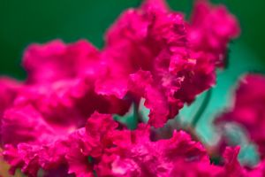 Crepe Myrtle up Close by drewii57