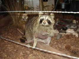 racoon 3 by gothfiend-stock