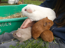 Guineapig Babys! by dawnsaproach