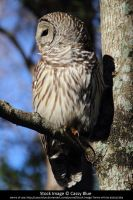Barred Owl Stock 3 by Cassy-Blue
