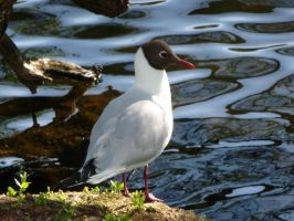black-headed gull (sommer plumage) by Feridwyn