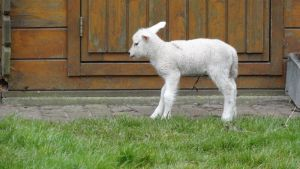 Standing Lamb by Horselover60-Stock