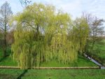 Remarkeble huge willow tree by schaduwvacht