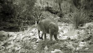 Wallaby In The Creek by Maxibouy1