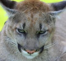 North American Cougar by lenslady