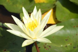 WAter lilly 600 by fa-stock