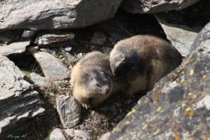 Marmots mother and young by oxalysa