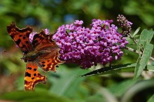 Comma resting on Buddleia by Mararda
