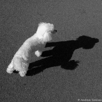 Poodle_morning_shadow by sveinsen3000