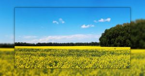 Canola Field 3 Picture Panorama by Joe-Lynn-Design