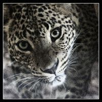 Amur Leopard 2 by Globaludodesign