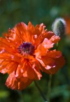 poppies by Camomelle
