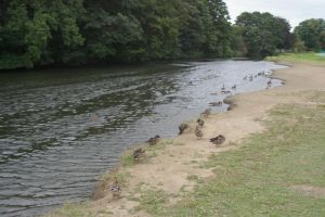 Ducks at Saltaire by rainbowphotos