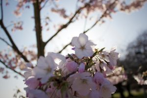Backlit Blossoms by J-the-Ninja