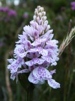 Heath spotted Orchid by MODDEYDOO