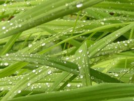 Stock Rained Grass 1 by zommy