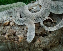 Frosted Glass Snake by kaolincash