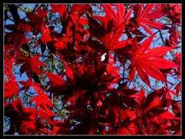 Japanese Maple by VictorAquilo