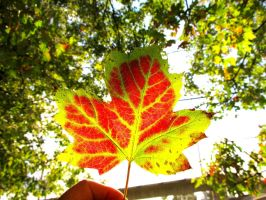 Maple leaf at fall by vfrrich
