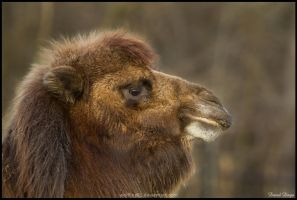 Meet the camel by Wolfling01
