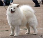 Samoyed by Ryoo-09
