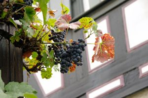 Rooftop grapes by ApoTerra