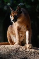 Caracal 1 by Rabastan