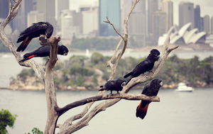 Red Tailed Black Cockatoo by RaineyJ