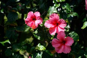 Pink Hibiscus 2 by Stickfishies-Stock