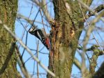 Great Spotted Woodpecker Cracking A Pine Cone by FuchsRobinHood