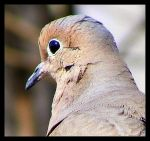 Mourning Dove by T-Thomas
