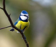 Blue Tit bright as a button by Steve-FraserUK