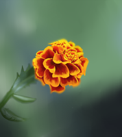 Marigold by IncubusPhanto