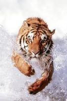 tiger in water by tristix