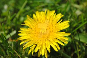 Dandelions In Bloom by charliemaedel