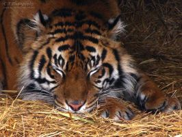 Sumatran Tiger 522 by caybeach