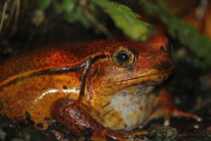 Tomato Frog by Eternalfall1