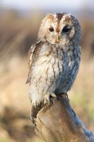 Tawny owl on a frosty branch by AngiWallace