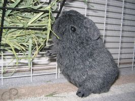 Little Agouti Grey Guinea Pig by Morumoto
