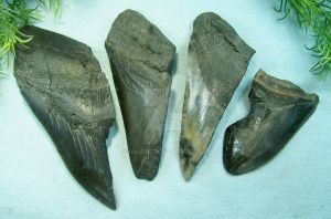 Carcharodon megalodon Teeth Fragments I. by Namyr
