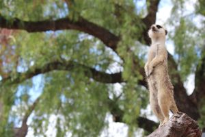 Meerkat by yeahBISH