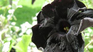 Black Flower by TransitoryAvailable