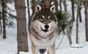 The Innocent Young Wolf by PictureByPali
